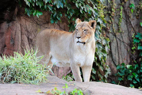 Photograph - Chicago Zoo by Songquan Deng