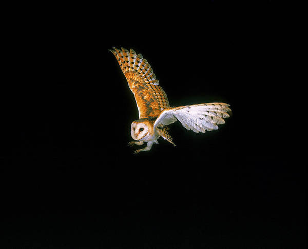 Wing Back Photograph - Chouette Effraie Tyto Alba by Gerard Lacz