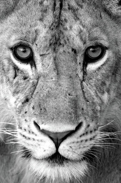 Tarangire Photograph - Close-up Of A Lioness Panthera Leo by Panoramic Images