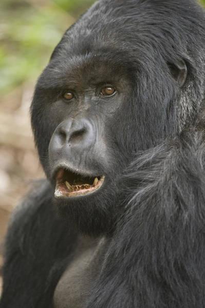 Rwanda Photograph - Close-up Of A Mountain Gorilla Gorilla by Panoramic Images