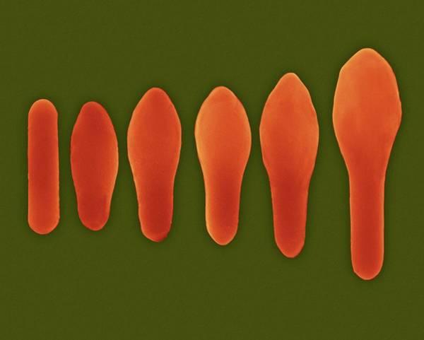 Anaerobe Wall Art - Photograph - Clostridium Spore Development by Dennis Kunkel Microscopy/science Photo Library