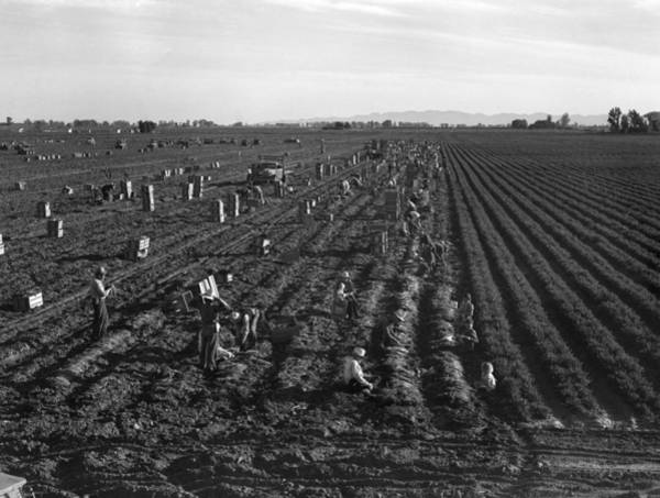 Wall Art - Photograph - Commercial Farming, 1939 by Granger