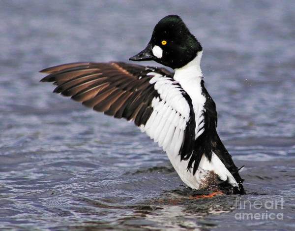 Photograph - Common Goldeneye Show by Sue Harper