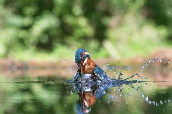 Kingfisher Photograph - Common Kingfisher Catching A Fish by Dr P. Marazzi