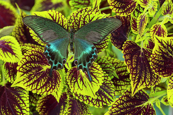 Bronze Leaf Wall Art - Photograph - Common Peacock Swallowtail Butterfly by Darrell Gulin