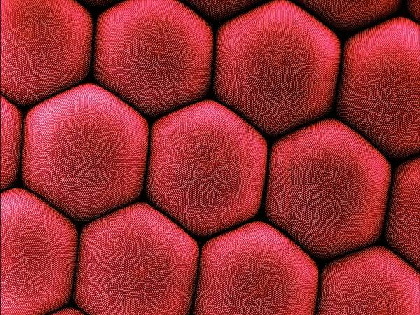 Compound Eyes Photograph - Compound Eye Of A Moth by Dennis Kunkel Microscopy/science Photo Library