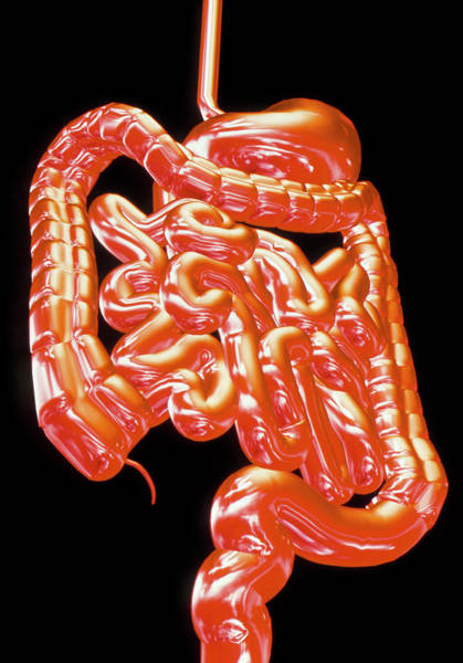 Digestive Systems Photograph - Computer Art Showing The Healthy Digestive System by Alfred Pasieka/science Photo Library