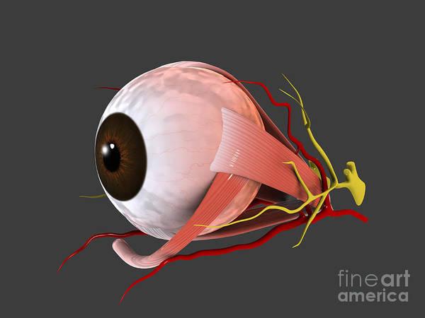 Eyeball Digital Art - Conceptual Image Of Human Eye Anatomy by Stocktrek Images