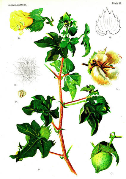 Cutout Wall Art - Photograph - Cotton (gossypium Obtusifolium) by Collection Abecasis/science Photo Library
