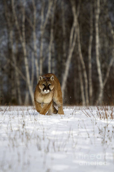 Catamount Photograph - Cougar by Linda Freshwaters Arndt
