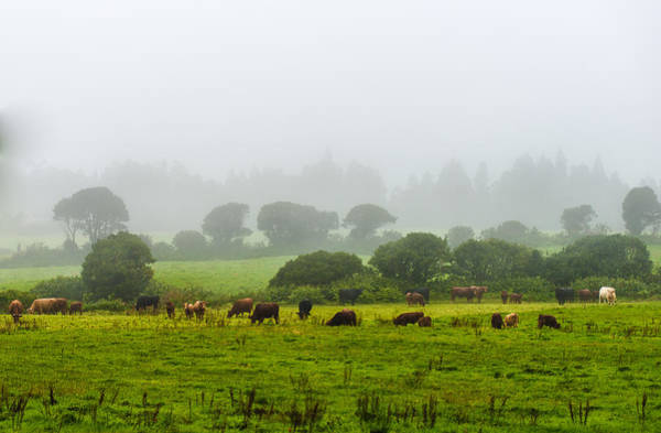 Cows At Rest Art Print