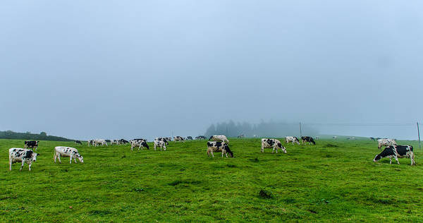 Photograph - Cows In The Field by Joseph Amaral