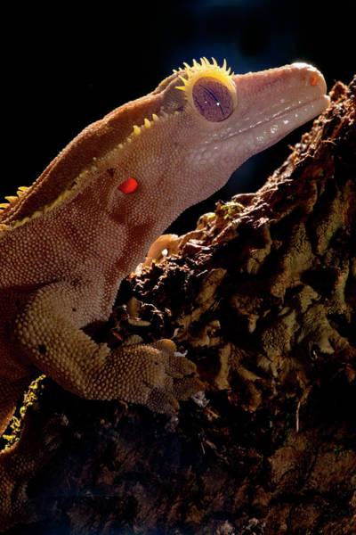 Gecko Wall Art - Photograph - Crested Gecko, Rhacodactylus Ciliatus by David Northcott