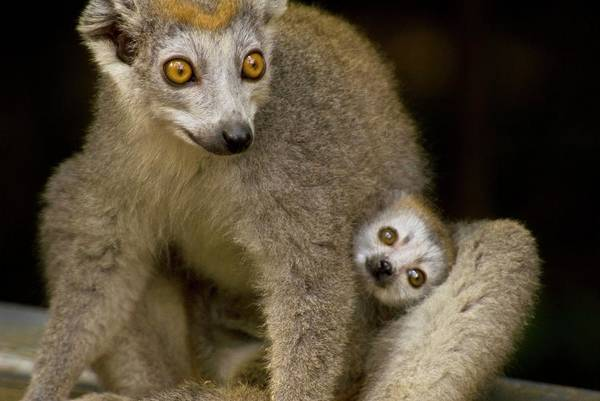Wall Art - Photograph - Crowned Lemurs by Philippe Psaila/science Photo Library