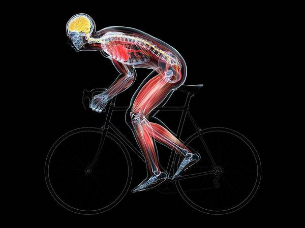 Nervous System Photograph - Cyclist by Sciepro/science Photo Library