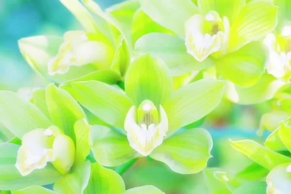Cymbidium Photograph - Cymbidium Orchid (cymbidium Sp.) by Maria Mosolova/science Photo Library