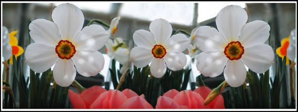 Photograph - 3 Daffodils by Sandy Scharmer