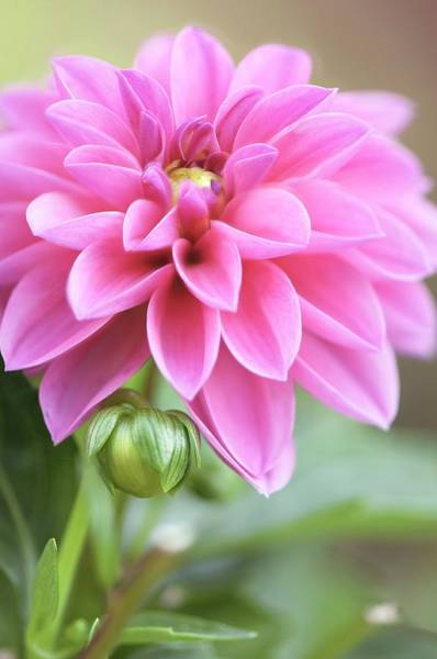 Asteraceae Photograph - Dahlia Flower by Maria Mosolova/science Photo Library