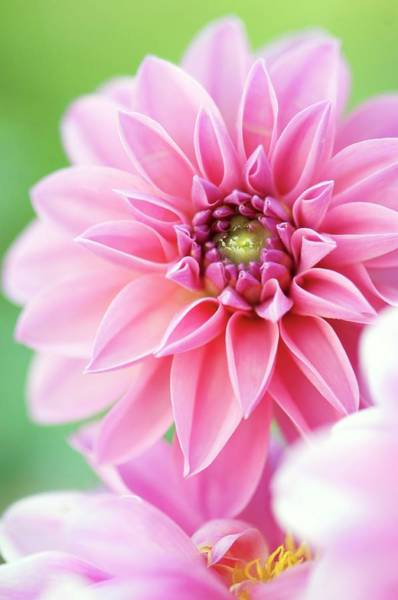 Asteraceae Photograph - Dahlia Flowers by Maria Mosolova/science Photo Library