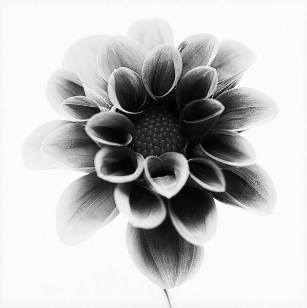 Dahlias Photograph - Dahlia by Lotte Gr??nkj??r