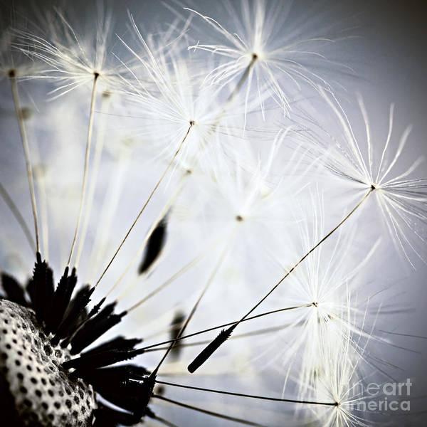 Photograph - Dandelion by Elena Elisseeva