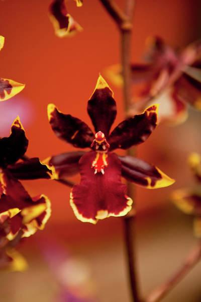 Petal Photograph - Deep Cut Orchid by Dan Pfeffer