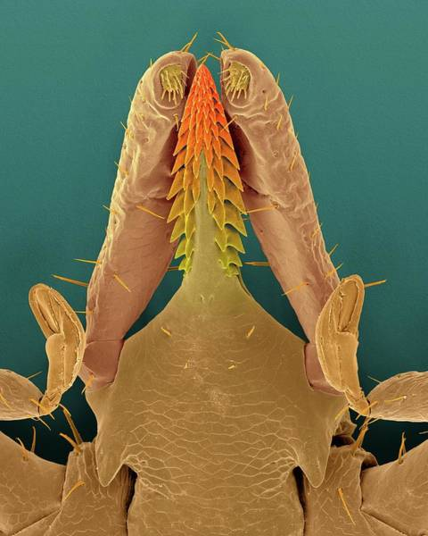 Wall Art - Photograph - Deer Tick Head (ixodes Scapularis) by Dennis Kunkel Microscopy/science Photo Library