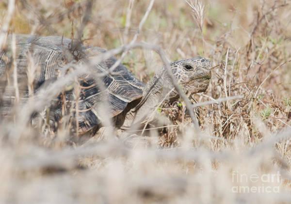 Photograph - Desert Tortoise by Dan Suzio