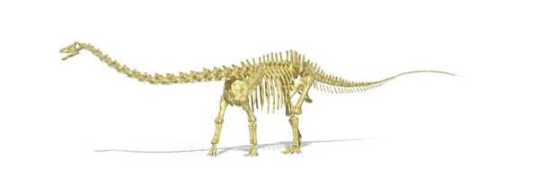 Wall Art - Photograph - Diplodocus Dinosaur Skeleton by Leonello Calvetti/science Photo Library