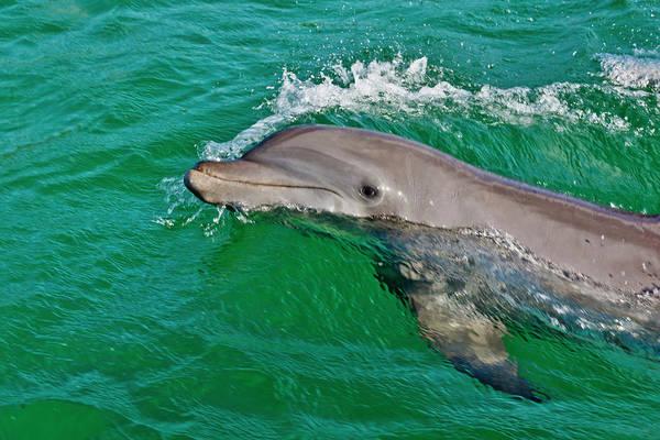 Roatan Photograph - Dolphin In The Ocean, Roatan Island by Keren Su
