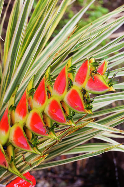 Heliconia Wall Art - Photograph - Dominica, Roseau, Tropical Vegetation by Walter Bibikow