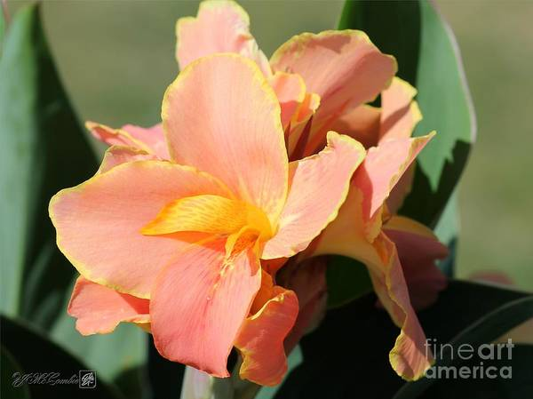 Wall Art - Photograph - Dwarf Canna Lily Named Corsica by J McCombie