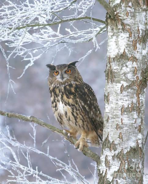 Photograph - Eagle Owl by Hans Reinhard