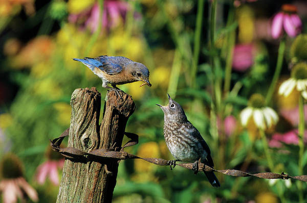 Chick Photograph - Eastern Bluebird (sialia Sialis by Richard and Susan Day