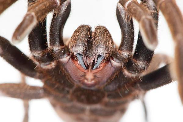Goliath Photograph - Eastern Tarantula by Louise Murray