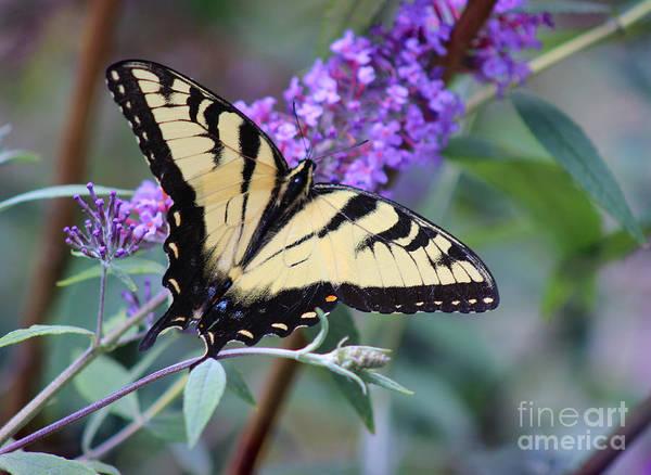 Photograph - Eastern Tiger Swallowtail Butterfly On Butterfly Bush by Karen Adams