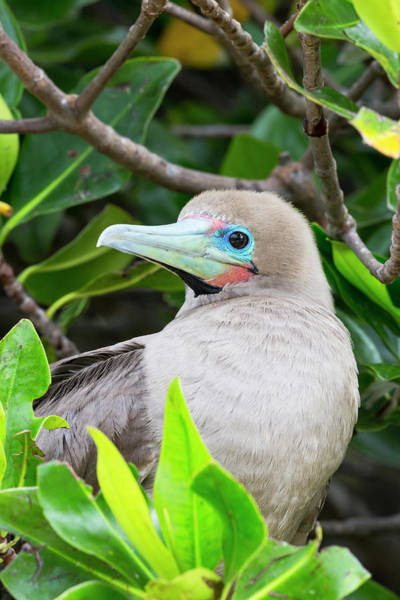Blue Footed Booby Wall Art - Photograph - Ecuador, Galapagos Islands, Genovesa by Ellen Goff