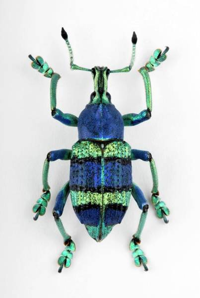 Wall Art - Photograph - Eupholus Weevil by Pascal Goetgheluck/science Photo Library