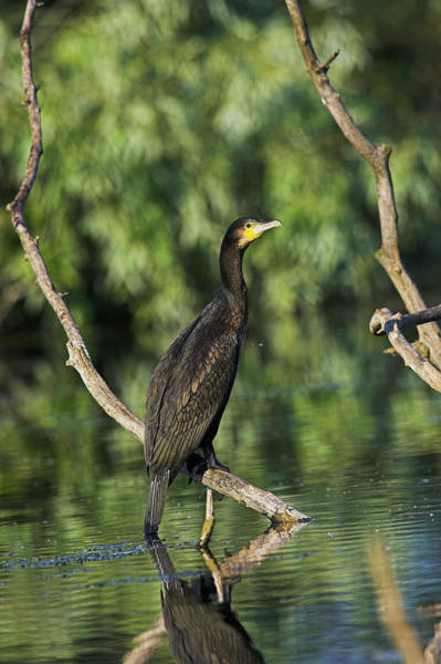 Migratory Birds Photograph - Eurasian Cormorant (phalacrocorax Carbo by Martin Zwick