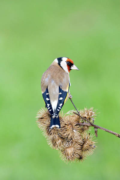 Goldfinch Photograph - European Goldfinch by John Devries/science Photo Library