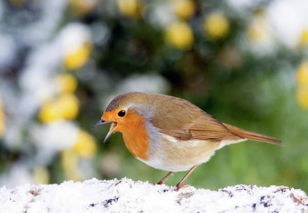 European Robin Photograph - European Robin by John Devries/science Photo Library
