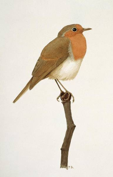 Wall Art - Photograph - European Robin by Natural History Museum, London/science Photo Library