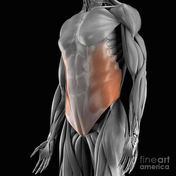External Abdominal Oblique Photograph - External Oblique Muscle by Science Picture Co