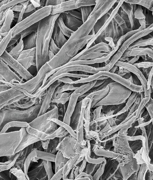 Tissue Paper Photograph - Facial Tissue Cellulose Fibres by Dennis Kunkel Microscopy/science Photo Library