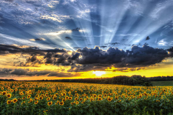 Sunflower Field Photograph - Field Of View by Chris Austin