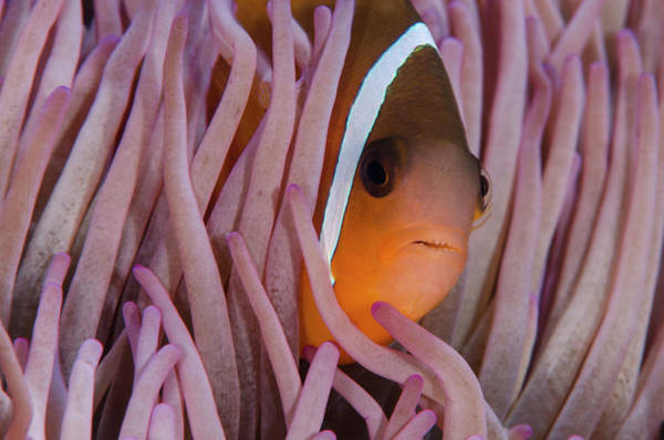 Clownfish Wall Art - Photograph - Fiji Anemone Fish (amphiprion Barberi by Pete Oxford