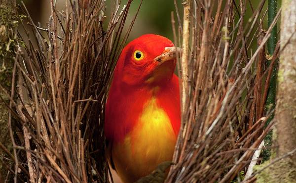 Courtship Display Photograph - Flame Bowerbird In Bower Animal Art by Paul D Stewart