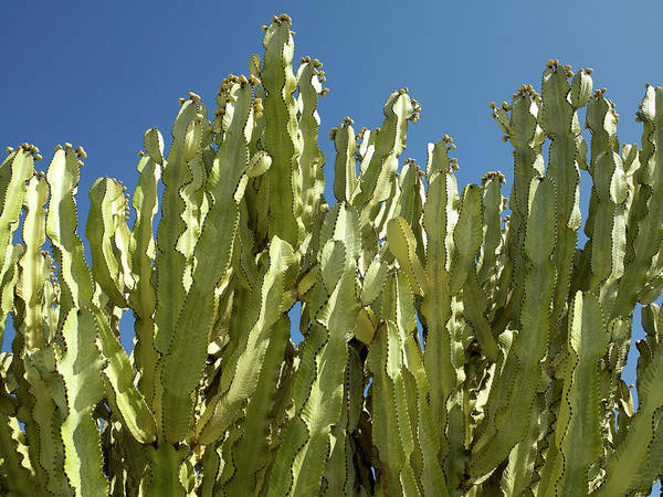 Wall Art - Photograph - Flowering Cactus Plants by Steve Allen/science Photo Library