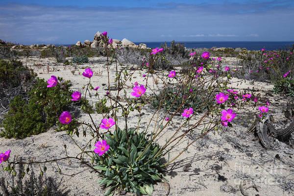 Photograph - Flowering Desert Chile by James Brunker