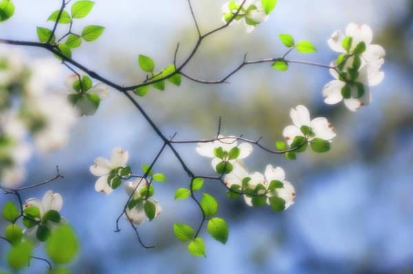 Florida Flora Photograph - Flowering Dogwood (cornus Florida) by Maria Mosolova/science Photo Library